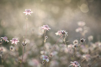 Pink Flannel Flowers (IV)